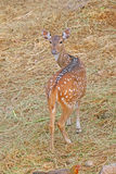 Deer. Are the ruminant mammals forming the family Cervidae Royalty Free Stock Photography