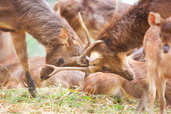 Deer. Red deer fight at green field Royalty Free Stock Photos