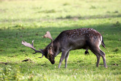 Deer. On a field at autuum Stock Image