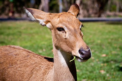 Deer. A one deer in zoo Royalty Free Stock Image