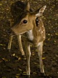 A deer. In Bogor, Indonesia Stock Images