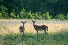 Deer. Two wild deer standing in a field Stock Photos