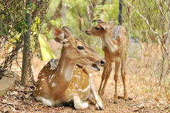 Deer. Whitetail deer doe and two fawns looking Stock Photo