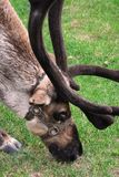 Deer. Reindeer in a zoo of the city of Izhevsk Royalty Free Stock Image