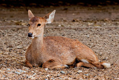 The Deer Royalty Free Stock Photography