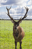 Deer. Angry deer behind the fence in mating season royalty free stock images