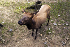 Deer. In the zoo begging food from visitors Royalty Free Stock Photos