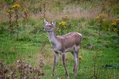 Deer. The Bactrian deer (Cervus elaphus bactrianus), also called the Bukhara deer, Bokhara deer or Bactrian wapiti, is a lowland subspecies of Red Deer that is royalty free stock photo