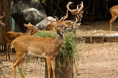 Deer. In zoo of thailand Stock Image