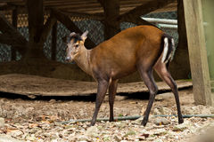 Deer. In zoo of thailand Royalty Free Stock Image