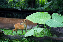 Deer. Young whitetail deer buck in a zoo Stock Photography