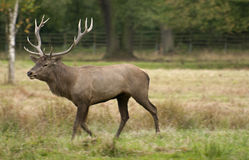 Deer. Are also excellent jumpers and swimmers Royalty Free Stock Photos