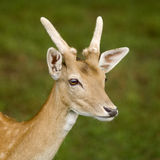 Deer. Standing in the forest Stock Images