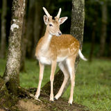 Deer. Standing in the forest Royalty Free Stock Image
