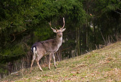 Deer Royalty Free Stock Image