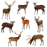 Deer. Collection of deer on a white background royalty free stock images