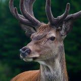 Deer. Portrait of an European red deer Stock Image