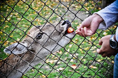 Deer. Feeding a deer in cage with apple Stock Photo