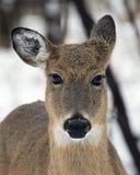 Deer Royalty Free Stock Photo