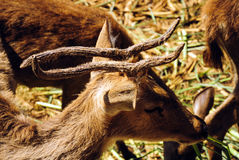 Deer. Wide at the zoo. Mammal Royalty Free Stock Image