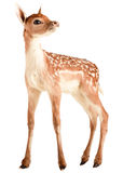 Deer. A deer It is isolated on a white background Royalty Free Stock Images