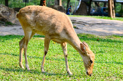 Deer. Eld's deer from Thailand (Cervus eldii siamensis stock photo