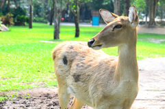 Deer. Eld's deer from Thailand (Cervus eldii siamensis royalty free stock photos