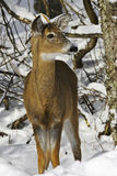 Deer 2a Royalty Free Stock Image