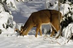 Deer 3 Stock Photos