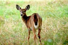 Deer. Close-up Royalty Free Stock Image