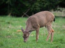 Deer. In meadow Royalty Free Stock Photo