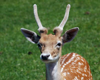 Deer. Picture of a young male deer Stock Photo
