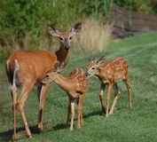 Deer. Fawns nursing from mother doe Royalty Free Stock Image