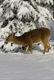 Deer 4 Stock Images