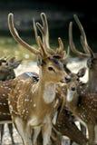Deer. A group of deer at the Taiping Zoo and Night Safari stock photos