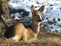 Deer. Roe deer (Capreolus Capreolus) resting on straw outdoors Royalty Free Stock Images
