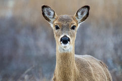 Deer 5166. A deer looking directly at  the camera Royalty Free Stock Photography