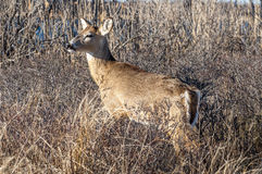 Deer 5171. A deer in the brush alertly keeping watch Royalty Free Stock Photography