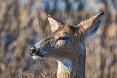 Deer 5171. A deer in the brush alertly keeping watch Royalty Free Stock Photo