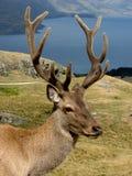 Deer. In  park, New Zealand Stock Photos