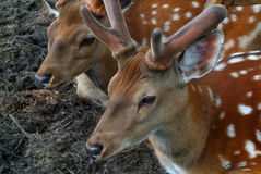 Deer. Two spotty deer at a short distance Stock Photography