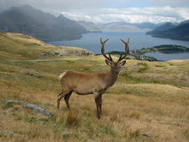 Deer. In  Park, New Zealand Stock Images