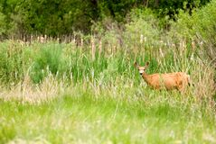 Deer. A deer in the wild standing in grass Royalty Free Stock Photos