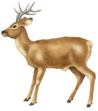 Deer. Brown deer with greater horns Stock Images