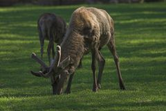 Deer. Grazing deer, Bialowieza, Poland Stock Photo