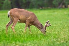 Free Deer Stock Photography - 56243002