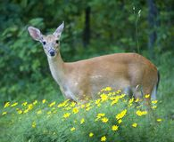 Deer. Doe that is in the flowers stock images