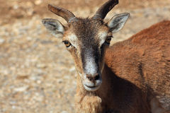 Deer. Head and face of a small deer with horns. Family: Cervidae stock photography