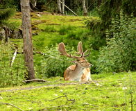 Deer. Norwegian spotted deer (bambi) in forest Royalty Free Stock Photography