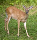Deer. Whitetail deer does in a grassy field stock image